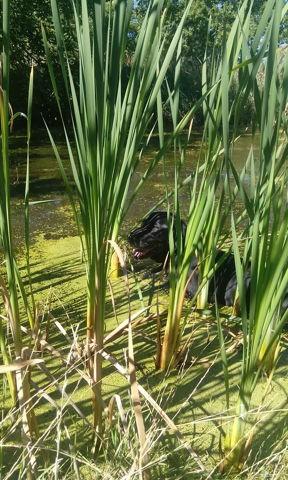 Mousse, chien Labrador Retriever
