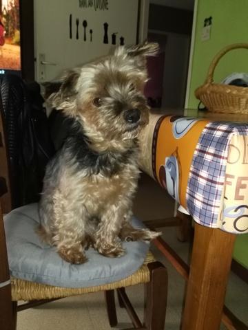 Moustic, chien Yorkshire Terrier