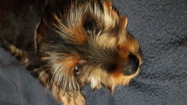 Moxy, chiot Yorkshire Terrier