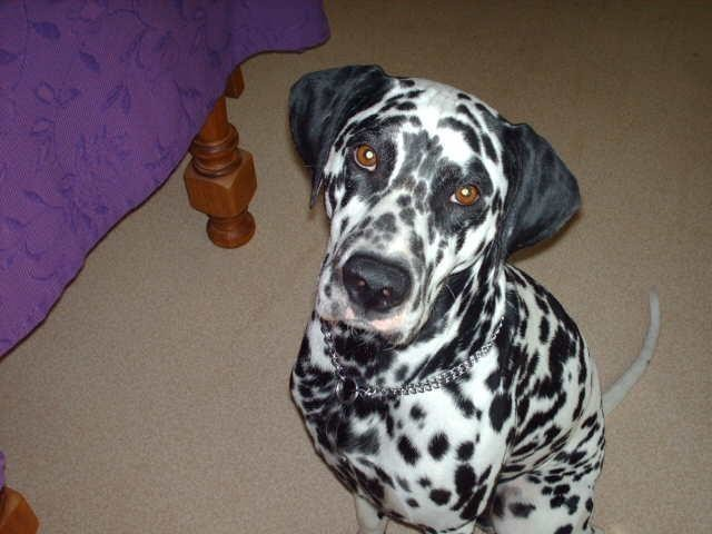 Mozart, chien Dalmatien