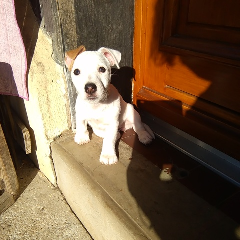 Muesli, chiot Jack Russell Terrier