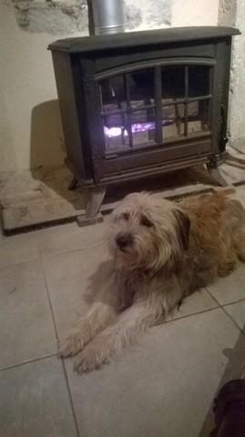 Muff, chien Berger des Pyrénées