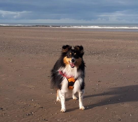 Mulan, chien Berger des Shetland