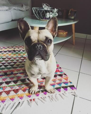 Mulan, chien Bouledogue français