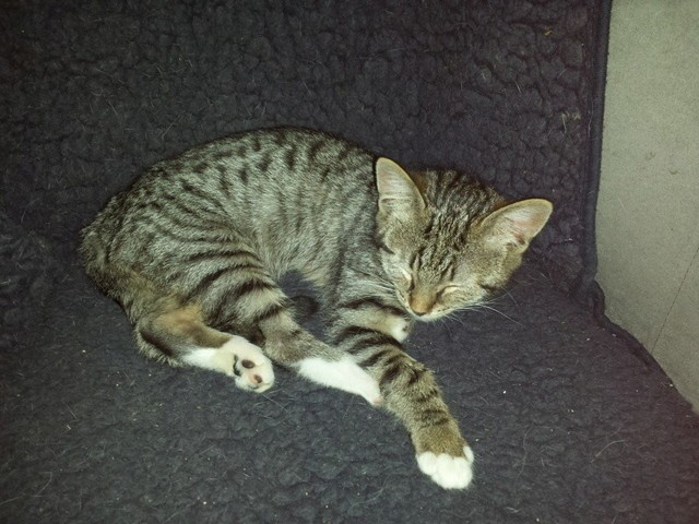 Mulder, chaton Européen