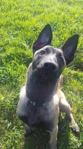 Mundo, chien Berger belge