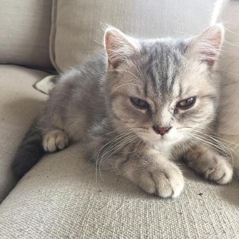Mushu, chaton British Shorthair