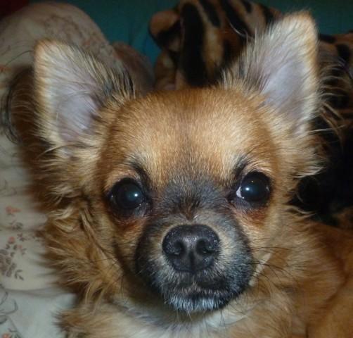 Muuffin, chiot Chihuahua