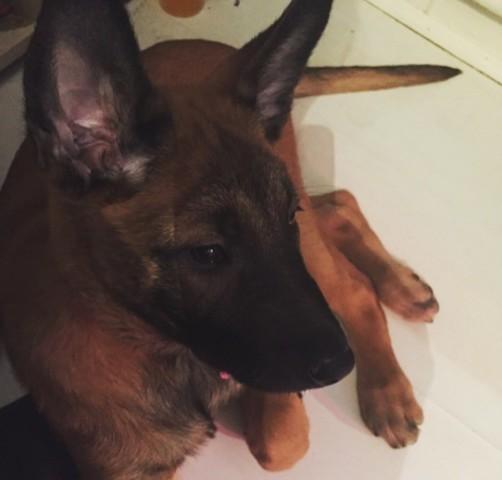 Mya, chien Berger belge