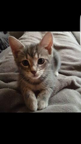 Myla, chaton Européen
