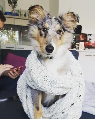 Myla, chiot Berger des Shetland