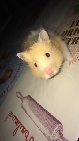 Mylka, rongeur Hamster