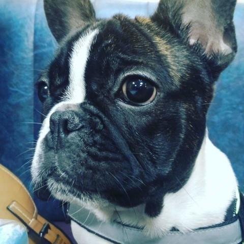Myo, chien Bulldog