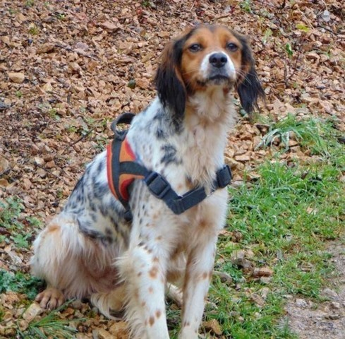 Myrtille, chien Épagneul breton