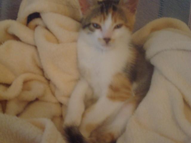 Myrtille, chat Européen