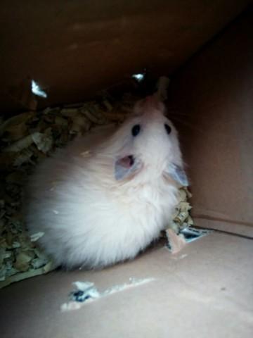 Mystic, rongeur Hamster