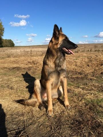 N'Gie, chien Berger belge