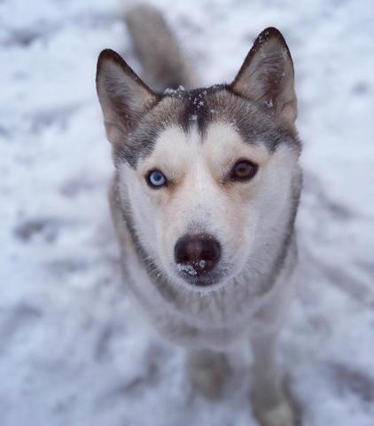 Naila, chiot Husky sibérien