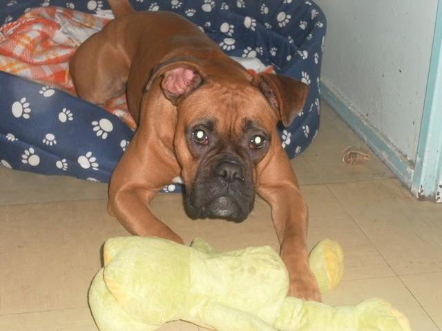 Nala, chien Boxer