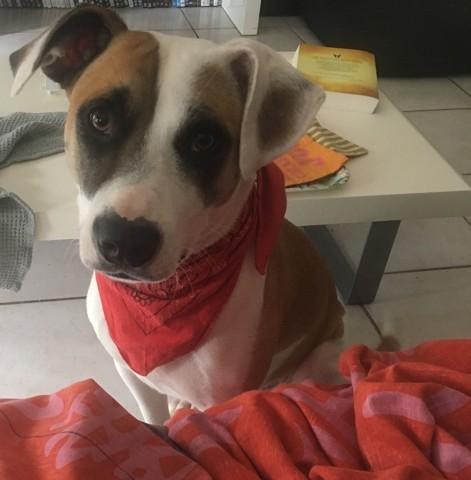 Nala, chien American Staffordshire Terrier