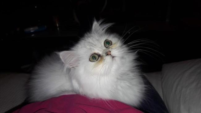Nala, chaton Persan