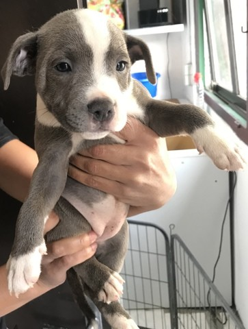 Nala, chiot Staffordshire Bull Terrier