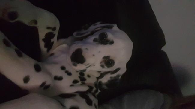 Nala, chien Dalmatien
