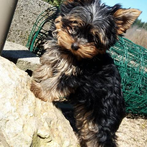 Nala, chiot Yorkshire Terrier