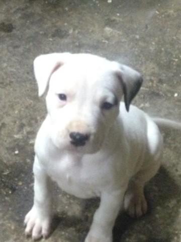Nalya, chiot Dogue argentin