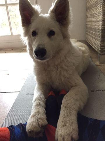 Naska, chien Berger blanc suisse