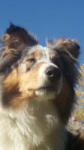 Neel, chien Berger des Shetland