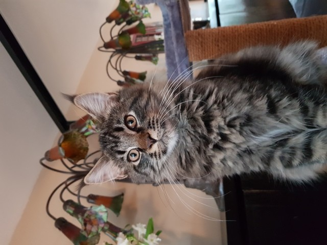 Nefer, chaton Maine Coon