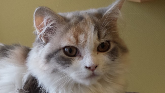 Nefertiti, chaton British Longhair