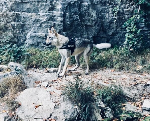 Nélhia, chien Chien-loup tchèque
