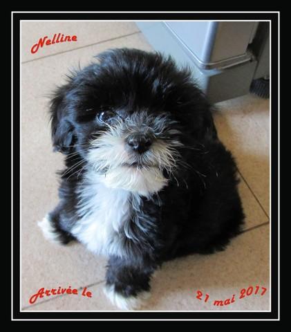 Nelline, chien Lhassa Apso