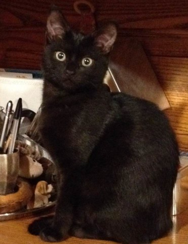 Néra, chat Européen