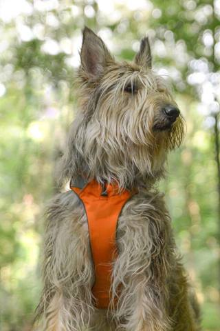 Nérys, chien Berger de Picardie