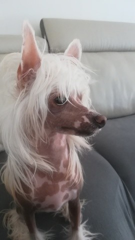 Nesquick, chien Chien chinois à crête