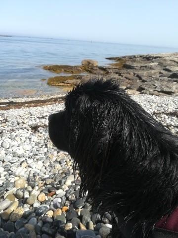 Nessy, chiot Terre-Neuve