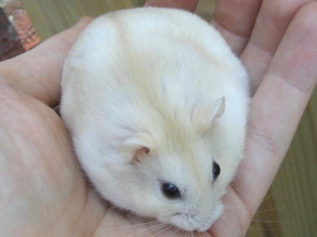 Nestea, rongeur Hamster