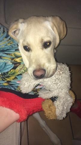 Newton, chiot Labrador Retriever
