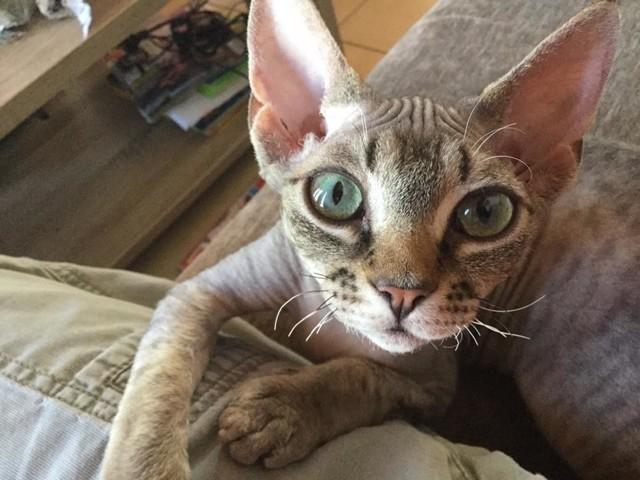 Niaouli Des Lollycat'S, chaton Devon Rex