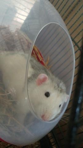 Nicodemus, rongeur Rat