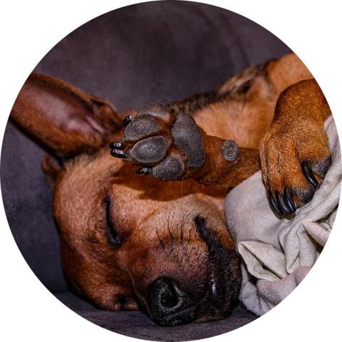 Nigel, chien Pinscher