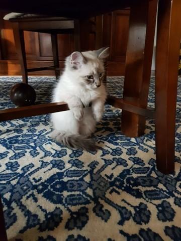 Nimbus, chaton Sibérien