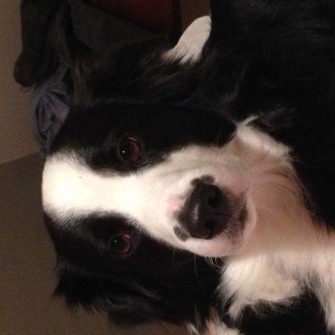 Nina, chien Berger australien