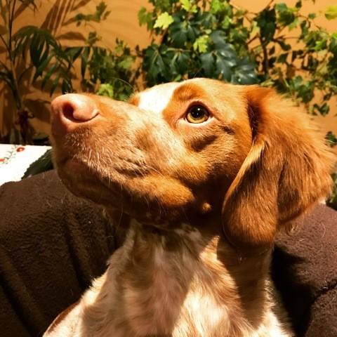 Nina, chien Épagneul breton