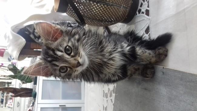 Ninette, chaton Européen
