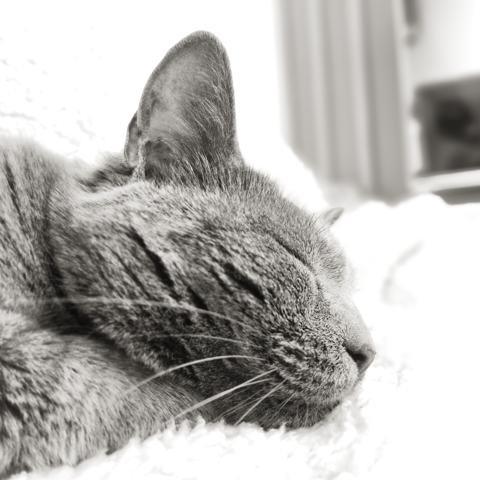 Ninette, chaton Chartreux