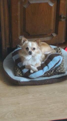 Nioky, chiot Chihuahua